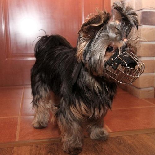 Museliere en fil de fer pour chien yorkshire m4 0 - Coupe de poils pour yorkshire ...