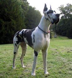 Museliere Pour Dogue Allemand